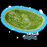 ✭ Chlorella vulgaris - Souche - Nourriture vivante - Algue ✭