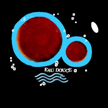 ✭ Haematococcus pluvialis - Souche - Nourriture vivante - Algue ✭
