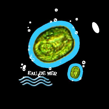✭ Isochrysis galbana - Souche - Nourriture vivante - Algue ✭